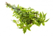Mint - Culinary herbs